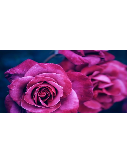 rosa rosa